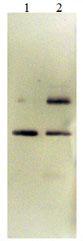 Western blot - PAI1 protein (Biotin) (Active) (ab170081)