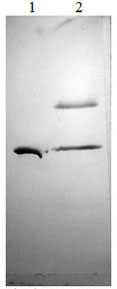 Western blot - PAI1 protein (Active) (ab170082)