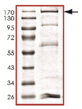 SDS-PAGE - Dnmt3a protein (Active) (ab170408)