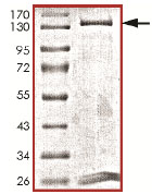 SDS-PAGE - Dnmt3b protein (Active) (ab170410)