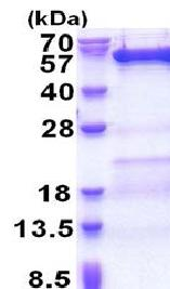 SDS-PAGE - VPS4B protein (His tag) (ab171483)