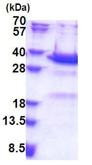 SDS-PAGE - Synaptotagmin V protein (His tag) (ab171492)