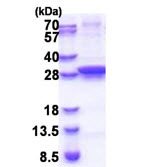 SDS-PAGE - UNG protein (His tag) (ab171506)