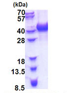 SDS-PAGE - HNRPAB protein (His tag) (ab171508)