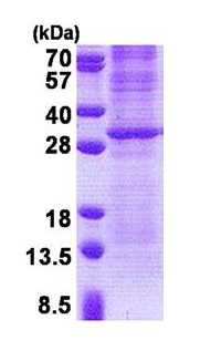 SDS-PAGE - Granzyme K protein (His tag) (ab171586)