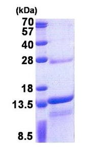 SDS-PAGE - DNAJC15 protein (His tag) (ab171593)
