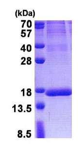 SDS-PAGE - ISOC2 protein (His tag) (ab171594)
