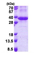 SDS-PAGE - LRG1 protein (His tag) (ab171596)