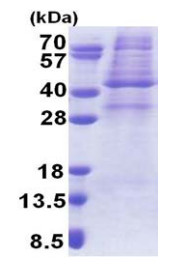 SDS-PAGE - AMPK gamma 1 protein (His tag) (ab171672)