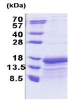 SDS-PAGE - TAF10 protein (His tag) (ab171687)