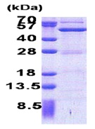SDS-PAGE - ASCC1 protein (His tag) (ab171688)