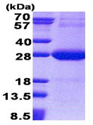SDS-PAGE - NDUFV2 protein (His tag) (ab171712)