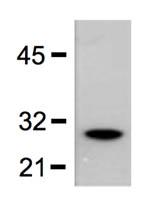 Western blot - Anti-GST antibody [GST.B6] (ab18183)