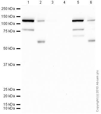 Western blot - pan-AKT (phospho S473) antibody (ab18206)