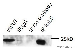 Immunoprecipitation - Rab5 antibody - Early Endosome Marker (ab18211)