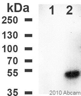 Western blot - Anti-DDDDK tag  antibody [F-tag-01] (ab18230)