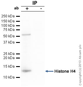 Immunoprecipitation - Anti-Histone H4 antibody - ChIP Grade (ab18253)