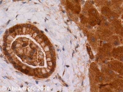 Immunohistochemistry (Formalin/PFA-fixed paraffin-embedded sections) - Anti-Caspase-12 antibody (ab18766)