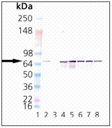 Western blot - Hsc70 antibody [1B5] (ab19136)