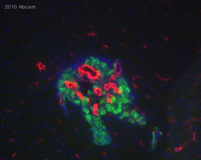 Immunocytochemistry/ Immunofluorescence - Collagen IV antibody (ab19808)