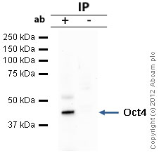 Immunoprecipitation - Anti-Oct4 antibody - ChIP Grade (ab19857)