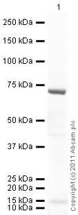 Western blot - Anti-NF-kB p65 (acetyl K310) antibody (ab19870)