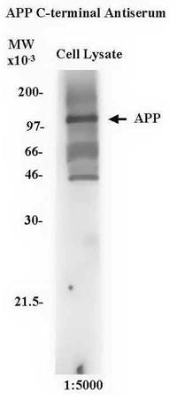 Western blot - Anti-Amyloid Precursor Protein antibody (ab2083)