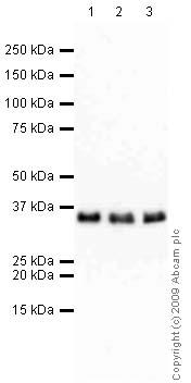 Western blot - RPA32/RPA2 antibody [9H8] (ab2175)