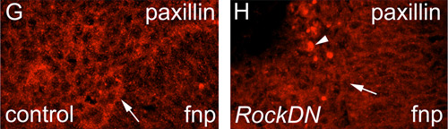 Immunohistochemistry (Frozen sections) - Anti-Paxillin antibody (ab2264)