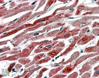 Immunohistochemistry (Formalin/PFA-fixed paraffin-embedded sections) - COX1 / Cyclooxygenase 1 antibody (ab2338)