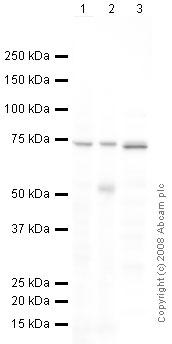 Western blot - Hsp70 antibody (ab2412)