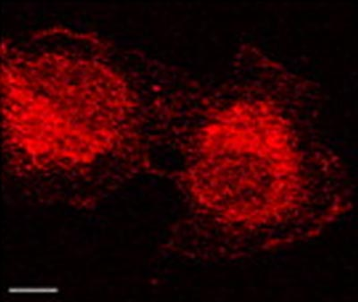 Immunocytochemistry/ Immunofluorescence - MMP2 antibody [4D3] (ab2462)