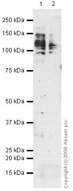 Western blot - CD98 antibody [MEM-108] (ab2528)
