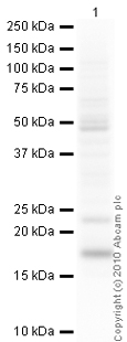 Western blot - Anti-IL1RA antibody (ab2573)