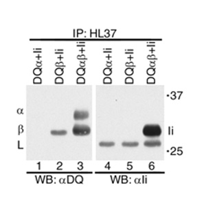Immunoprecipitation - HLA DQ1 + HLA DQ3 antibody [HL-37] (ab2600)