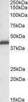 Western blot - LIS1 antibody (ab2656)