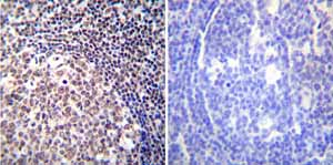 Immunohistochemistry (Formalin/PFA-fixed paraffin-embedded sections) - Anti-NFAT1 antibody [25A10.D6.D2] (ab2722)