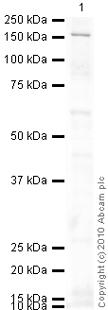 Western blot - NFAT1 antibody [25A10.D6.D2] (ab2722)