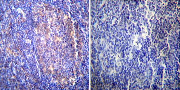 Immunocytochemistry - Anti-Hsc70 antibody [13D3] (ab2788)
