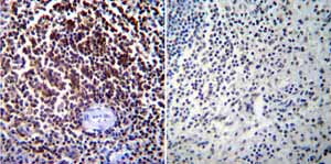 Immunohistochemistry (Formalin/PFA-fixed paraffin-embedded sections)-Anti-NFAT2 antibody [7A6] - ChIP Grade(ab2796)