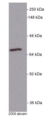 Western blot - Anti-Grp75 antibody [JG1] (ab2799)