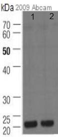 Western blot - ADP Ribosylation Factor antibody [1D9] (ab2806)
