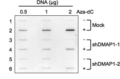 Western blot - DMAP1 antibody - ChIP Grade (ab2848)