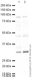 Western blot - Dnmt3b antibody - ChIP Grade (ab2851)