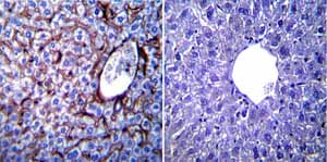 Immunohistochemistry (Formalin/PFA-fixed paraffin-embedded sections)-Anti-KDEL antibody - ER Marker(ab2898)
