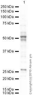 Western blot - pan Arrestin antibody (ab2914)