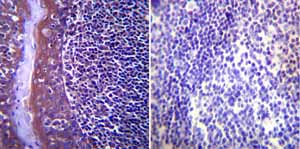 Immunohistochemistry (Formalin/PFA-fixed paraffin-embedded sections)-Anti-Hsp104 antibody(ab2924)