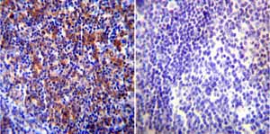 Immunohistochemistry (Formalin/PFA-fixed paraffin-embedded sections)-Anti-Hsp90 beta antibody(ab2927)