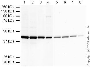 Western blot - beta Actin antibody [mAbcam 8226] (HRP) - Loading Control (ab20272)