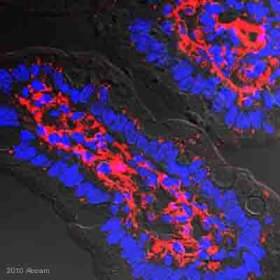 Immunohistochemistry (Frozen sections) - Apolipoprotein B antibody (ab20737)